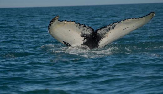 カナダ東部ケベックでホエールウォッチング(クジラ見物)穴場の紹介!