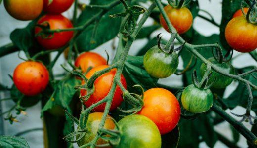 トマト、ベランダ菜園・プランターで美味しく育てる!初心者でもできる糖度を上げる方法