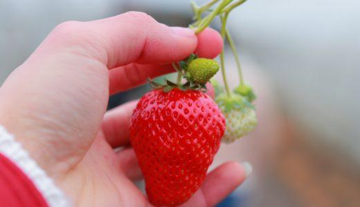 美味しい!甘い!イチゴの見分け方は?おいしい苺の選び方のコツ!
