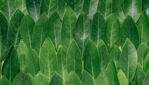 なぜ葉っぱは緑色?木の葉に含まれる葉緑体、葉緑素クロロフィルとは?光合成とガス交換