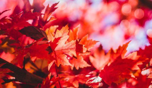 紅葉はなぜ起こる?秋に葉の色が赤色に変化するのは、色素アントシアンが原因?②