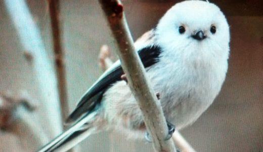 雪の妖精「シマエナガ」はどんな野鳥?名前の由来・特徴・生息地・鳴き声は?